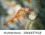 Crocothemis Erythraea  Common...
