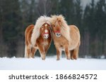 Two miniature shetland breed...