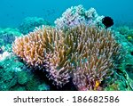 clown fishes in anemone clown... | Shutterstock . vector #186682586