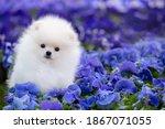 Pomeranian Spitz White Puppy ...