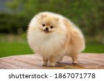 Pomeranian Spitz Toy Dog...