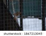 Little Red Squirrel Behind A...