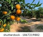 Trees With Oranges  Oronules...