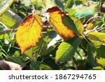 Autumn Coloured Bramble Leaves...