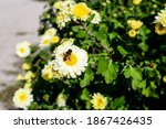 Many Vivid Yellow And White...