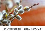 Willow Branches With Catkins In ...