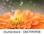 Orange Zinnia Un Close With...