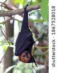 Fruit Bat  Flying Fox  Flying...