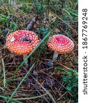 Two Red Poisonous Mushrooms Fly ...