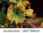Green Ginkgo Biloba Leaves...
