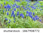 Blue Muscari Armeniacum ...