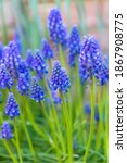 Muscari Armeniacum Or Armenian...