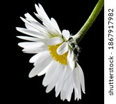 Close Up Of A White Daisy On A...