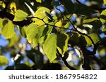 Luminous Yellowing Leaves Of...