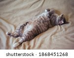 Small photo of Fat gluttonous cat stretched out on a gray bedspread, belly close up