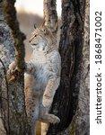 Eurasian Lynx Climbing In A...