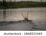 Caribou Swimming Across A Lake  ...