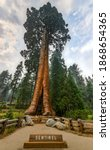 Giant sequoia tree Sentinel in Sequoia National Park, California, USA - stock photo