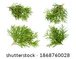 Set Of Thuja Branches Isolated...