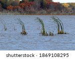 Cattails Bent By Wind In A Blue ...