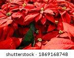 Bright Red Poinsettia Plant ...