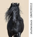 Portrait Of Black Andalusian...