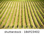 Grape vines in rich, vibrant green stretch out in the wine regions of South Australia - stock photo