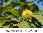 Horsenut   Buckeye