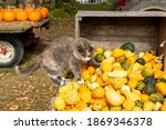 Domesticated Farm Cats With...