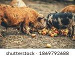 New Zealand Piglets Eat Apples.
