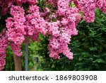 Lagerstroemia Indica Branch...