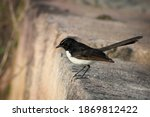 Small photo of The willi Wagtail is one of the most well-known, of the Australian fantails. It's scientific name is Rhipidura leucophrys. The Willie Wagtail is found throughout mainland Australia in urban areas. The