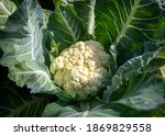 Close Up Of A Ripe Cauliflower  ...