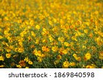 beautiful yellow cosmos flower... | Shutterstock . vector #1869840598