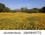 beautiful yellow cosmos flower... | Shutterstock . vector #1869840772