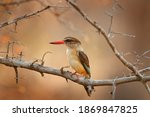 Brown Hooded Kingfisher ...