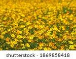 beautiful yellow cosmos flower... | Shutterstock . vector #1869858418