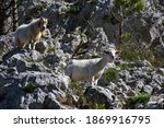 Mountain Goats Standing On Rocks
