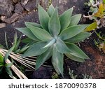 Young Plant Of Agave  Probably...