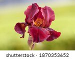 Flower Iris In Spring With...