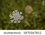 Queen Anne's Lace In The Green...