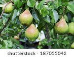 Organic Pears In The Garden