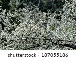 branches with blooming white... | Shutterstock . vector #187055186