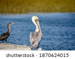 Single Brown Pelican Pelecanus...