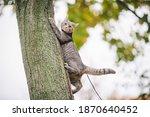 Male Cat Domestic Gray Wool...