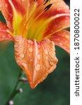 Hemerocallis Orange Flower With ...
