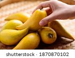 Eggfruit Or Canistel Holding By ...