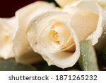 Close Up Of A White Rose And...