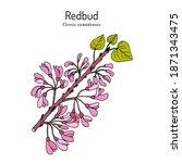 Eastern Redbud  Cercis...