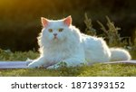 The White Persian Cat Sits...